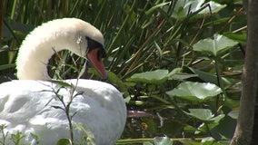 Lakeland to sell swans following annual roundup next month