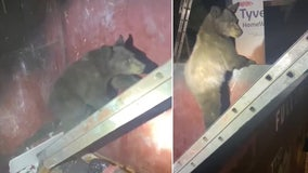 Deputies help bear cubs escape dumpster with ladder