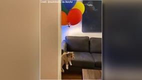 Bulldog puppy 'Doggo Blaine' stars in his own 'Up' balloon stunt