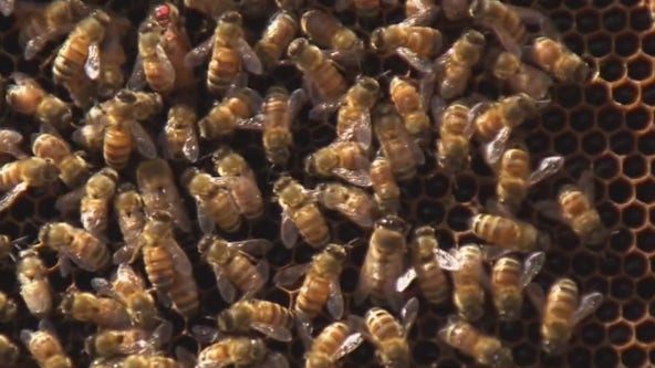 Could honeybees cure cancer?