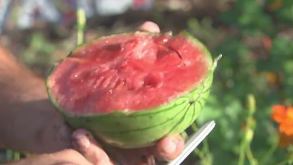 Harvesting tasty watermelon