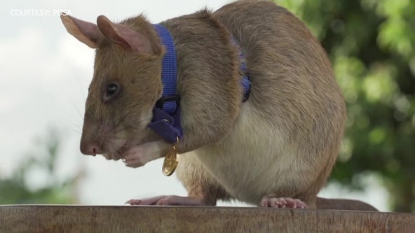Hero rat gets gold medal for sniffing out landmines