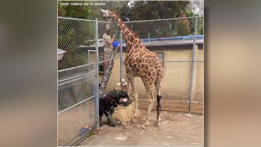 'A tall order': Oakland Zoo gives giraffe a pedicure