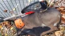 Deer stuck in plastic pumpkin head