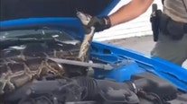 10-foot python removed from under car hood in South Florida