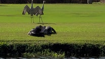 Shorebirds watch as alligators wrestle on South Florida golf course
