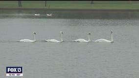 Lakeland holds 40th annual Swan Roundup