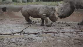 Rhinos romp and roll in mud at Cincinnati Zoo