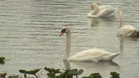 Lakeland's annual Swan Roundup turns 40