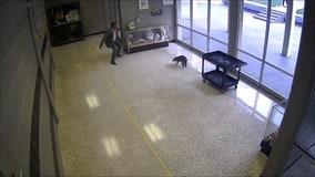 Raccoon leads staff members on wild chase around Texas high school