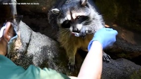 'Rockstar' raccoon battles cancer for more than a year