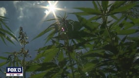 USF takes closer look at the healing power of plants, including hemp
