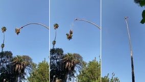 Wild ride: Man cutting palm tree ends up swinging precariously in the air