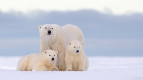 Trump administration study finds climate change, oil drilling could threaten polar bears