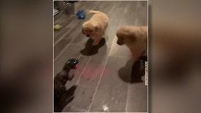 Jurassic Bark: Golden retriever puppies launch attack on t-rex toy