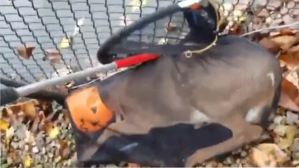 New Jersey animal control officers free deer with head stuck in plastic pumpkin