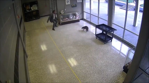 Raccoon leads staff members on wild chase around Texas high school