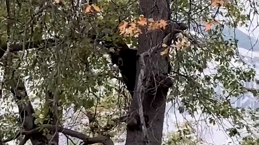 Yosemite bear shows off vocal prowess