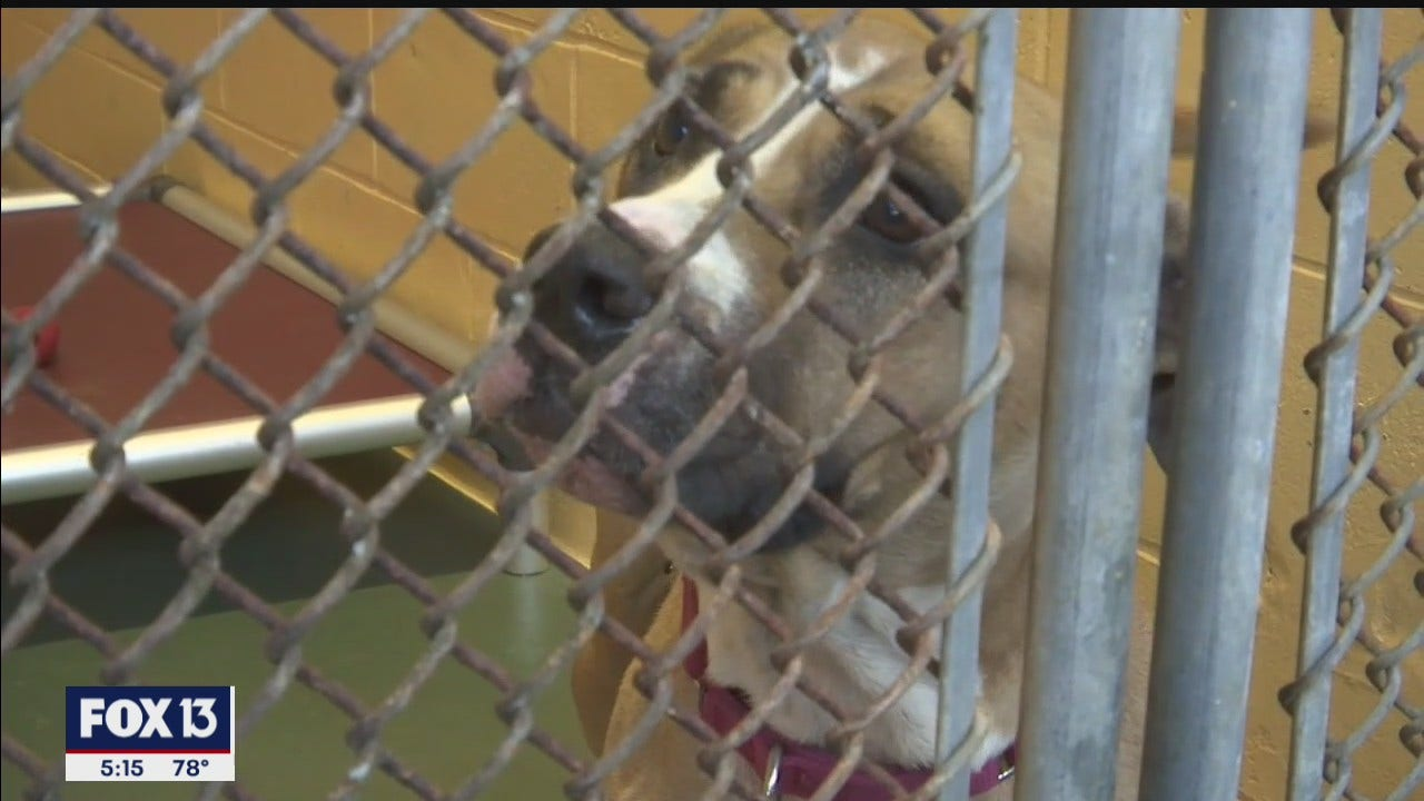 Manatee shelter sees sharp increase in pet owners surrendering, abandoning dogs and cats during pandemic