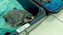 Sea turtles flown to Florida