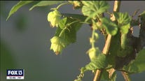 UF testing out homegrown hops in Hillsborough County