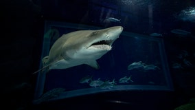 Conservationists sound alarms after oil from shark liver identified as COVID-19 vaccine ingredient