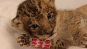 It's a girl: Zoo in California introduced Pauline the lion cub