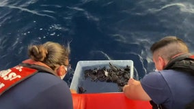 Coast Guard releases more than 200 sea turtles off Florida coast