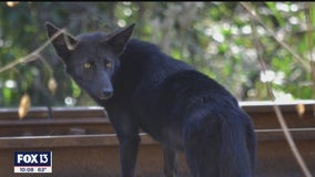 Westchase residents in awe of black coyote