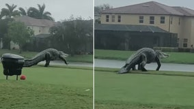 Massive alligator takes a stroll on Florida golf course