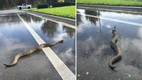 Large rattlesnake spotted slithering across the road in southwest Florida