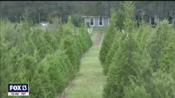 Ergle Christmas Tree Farm has busy season