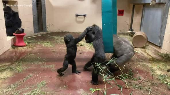Playtime with Zoo Atlanta gorillas