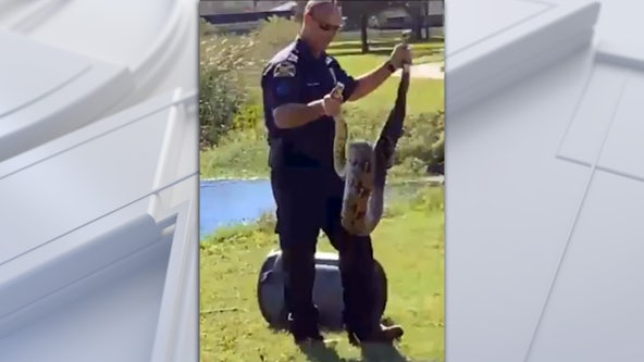Police officer wrangles python in St. Pete park