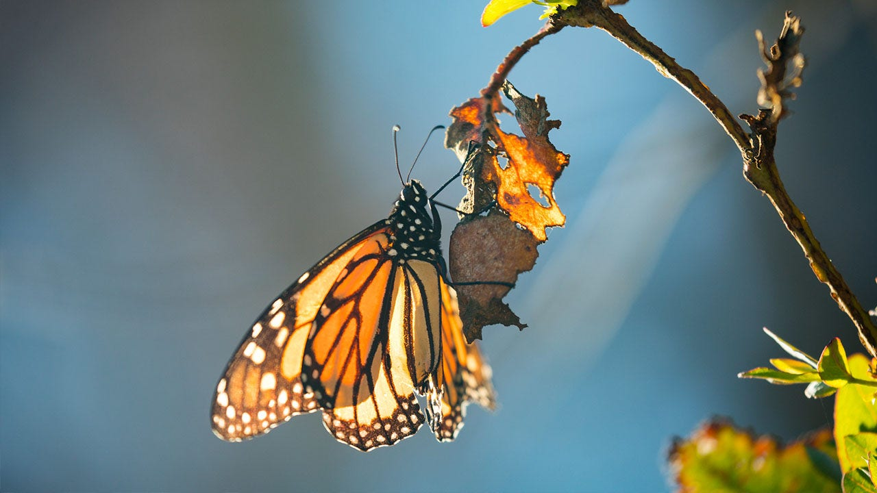 Trump administration expected to make endangered-species decision on monarch butterfly