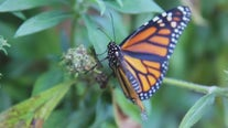 Monarch butterfly moves closer to extinction