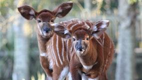 Critically endangered antelopes born at Florida zoo