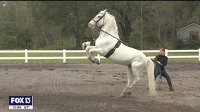 See this beautiful horse breed at their Florida home