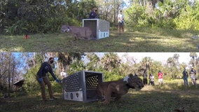 After car accident, FWC releases panther back into the wild