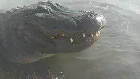 Alligator hangs in geothermal water amid subfreezing temperatures in Colorado