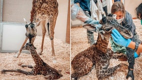 Newborn baby giraffe dies at Nashville zoo after being stepped on by her mother