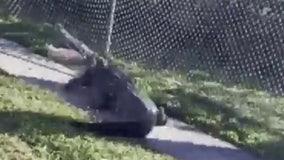 Polk County deputies encounter massive alligator near Lakeland school