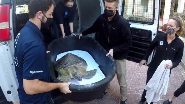 Clearwater Marine Aquarium releases first rehabilitated turtle of 2021