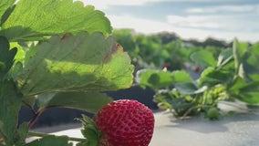 Keeping strawberries fresh
