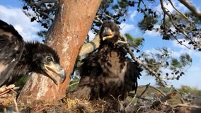 Eaglet rehabilitated, re-nested after great horned owl attack