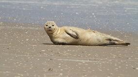 Non-native harbor seal appears on north Florida beach