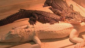 See some of the world's rarest reptiles at Madeira Beach's Alligator and Wildlife Discovery Center