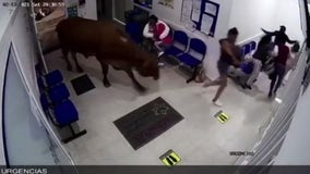 Cow attacks people in hospital waiting room