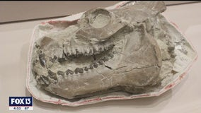 New exhibition at Bishop Museum of Science and Nature shows off Bradenton teacher's fossil finds