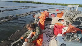 Bay Area oyster farmers building back Florida's aquaculture industry